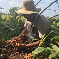 Alcides Muriollo with freshly harvested turmeric rhizomes