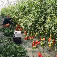 Employees thinning out the tomato plants