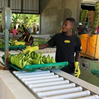 The freshly picked bananas are weighed