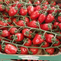 "The ""Sunstream"" datterini tomato – a new variety"