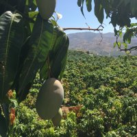 Southern Spain is particularly well-suited to the cultivation of mangoes