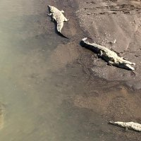 Crocodiles by the river – the diversity of species in the small country of Costa Rica is huge