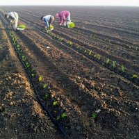 Asparagus seedlings are planted in the loose soil