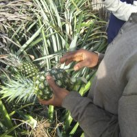 Examination of the pineapples in the field