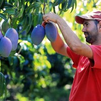 The mangoes are carefully harvested in the country of origin