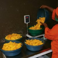 the mangos must be weighed before being dried
