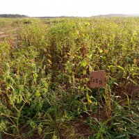 Legumes as catch crops in the field