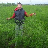 Asparagus fern of up to one and a half metres forms after the harvest
