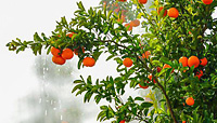 Bright orange and aromatic: Nadorcott mandarins from BioTropic